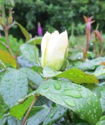 rose in rain