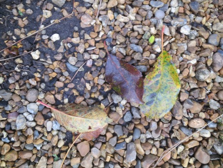 Two upturned autumn leaves from the same tree